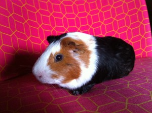 Mon cochon d'Inde